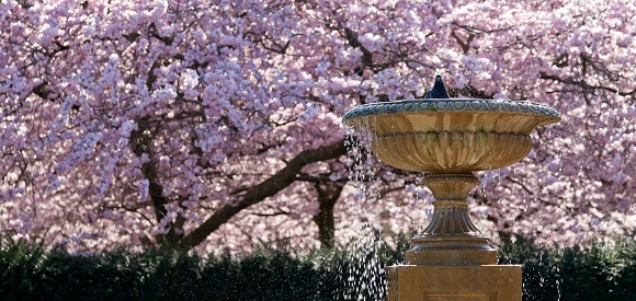 Bird-bath-and-cherry-blossom-tree-in-the-Avenue-Gardens